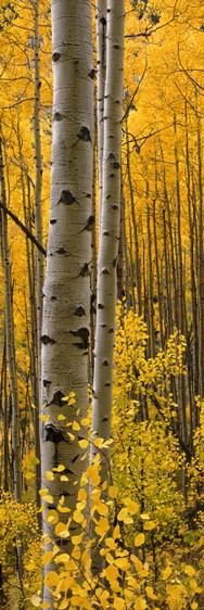 Aspen Intimacy Lite Panorama canvas gallery wrap